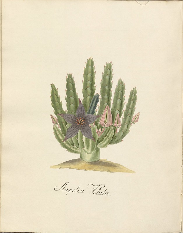 Stapelia vetula watercolour sketch