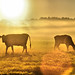 Cow Silhouettes by CaptPiper
