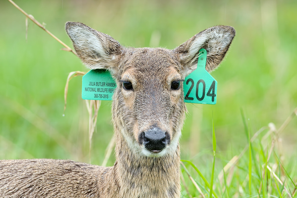 A Columbian white-tailed deer doe with tags in her ears