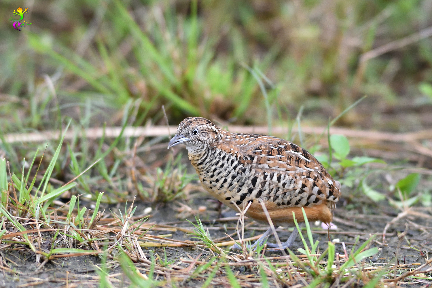 Barred_Buttonquail_9419