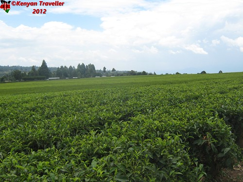 farms tea kericho kenya