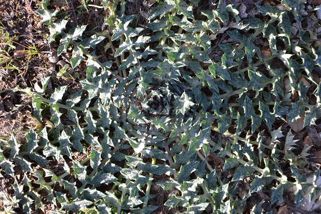 Carthamus lanatus - carthame laineux 33450369116_89fabf5348_z
