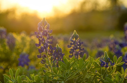 hdr bluebonnets texasbluebonnets wildflower spring