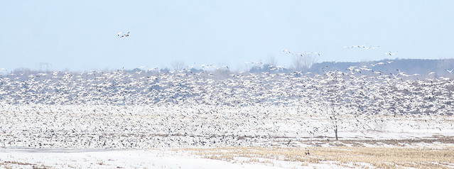 Snow Geese, Canon EOS 30D, Canon EF300mm f/4L IS USM