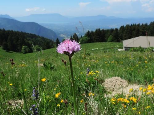 Traunsteinera globosa=Orchis globuleux (1)