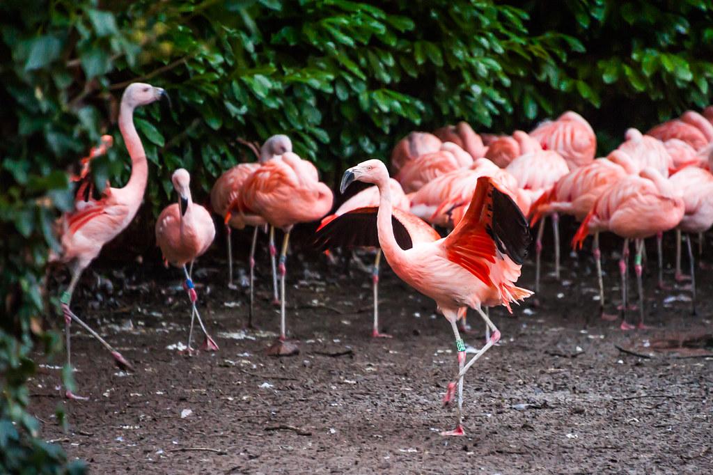 Красные пеликаны в зоопарке столицы Ирландии.