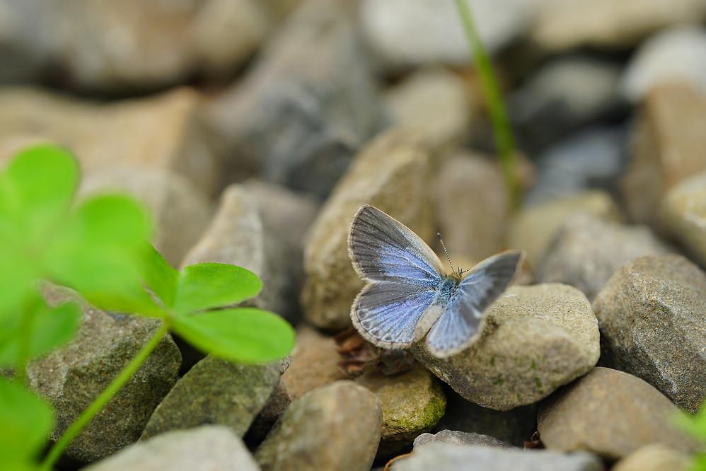 藍灰蝶屬藍灰蝶14S102
