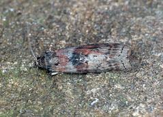 62.029 Dotted Oak Knot-horn - Phycita roborella