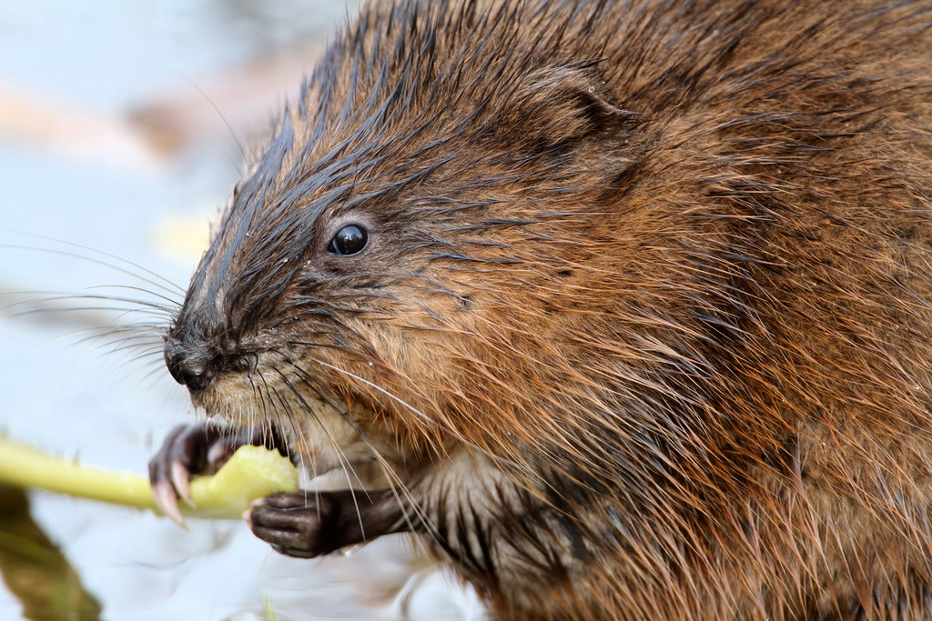 A close-up view of a common muskrat eating plants