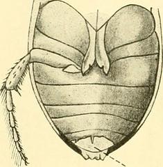 """Image from page 219 of """"Zeitschrift für wissenschaftliche Zoologie"""" (1912)"""