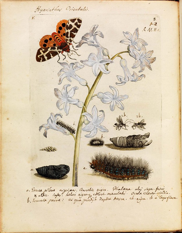 historical science B+W + colour engravings-illustrations of butterflies, bees, moths + plants + flowers in-situ (1700s)