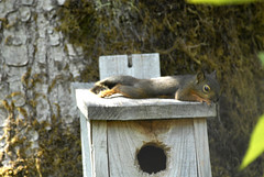 animal, squirrel, rodent, birdhouse, fauna,