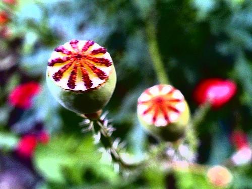 203/365 • poppy