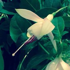 Angel Earring (Fuchsia hybrid) #angelearring #fuchsia