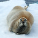 Bearded Seal (Bret Charman)