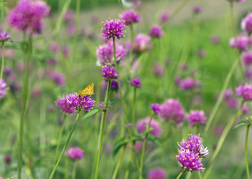 butterflies creativecommons 6d 0962 canonef100mmf28macrousm firereworls