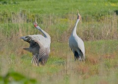 Brolga Greeting