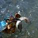Martin-pêcheur d'Europe Alcedo atthis  Common Kingfisher by Julien Ruiz