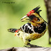 Male Crested Barbet  - Trachyphonus vaillantii by rosebudl1959