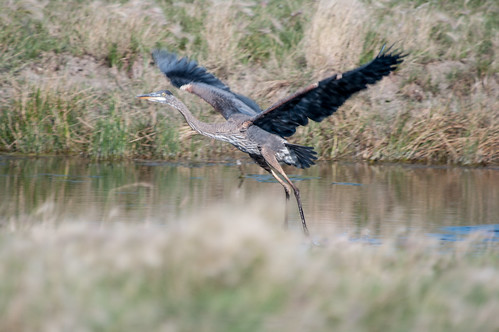 canada bird heron wildlife september saskatchewan greatblueheron limerick 2014 gmpentaxfan