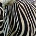 Equus Burchelli