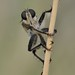 A robber fly, Efferia by Dave Beaudette