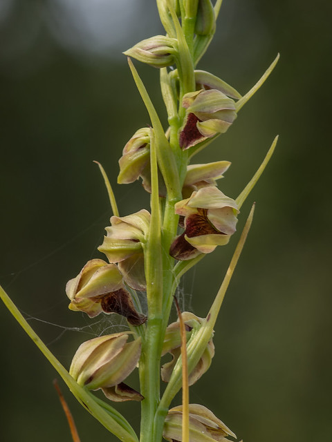 Spiked Medusa orchid
