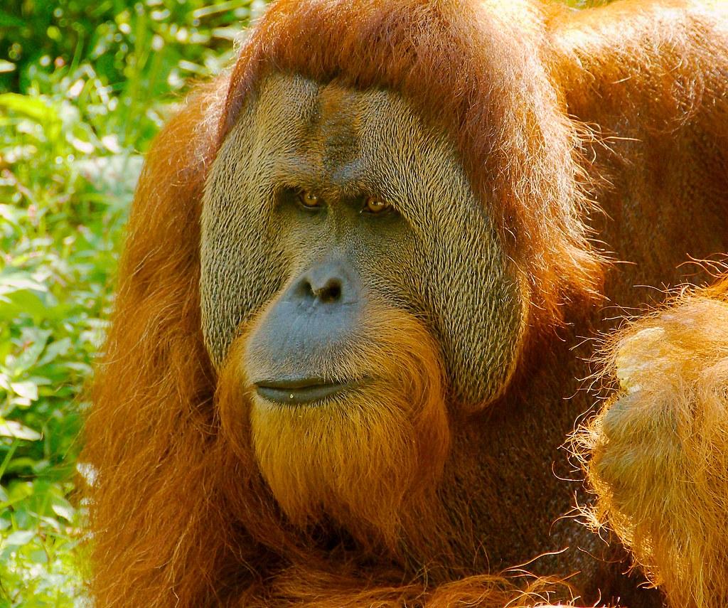 Orangutan_7