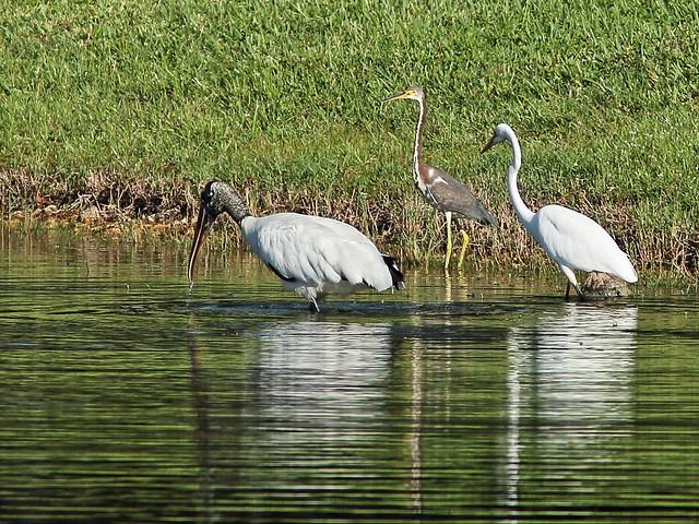 Stork and herons again relocate 3-20140912