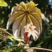 White Leaf B209011Pr