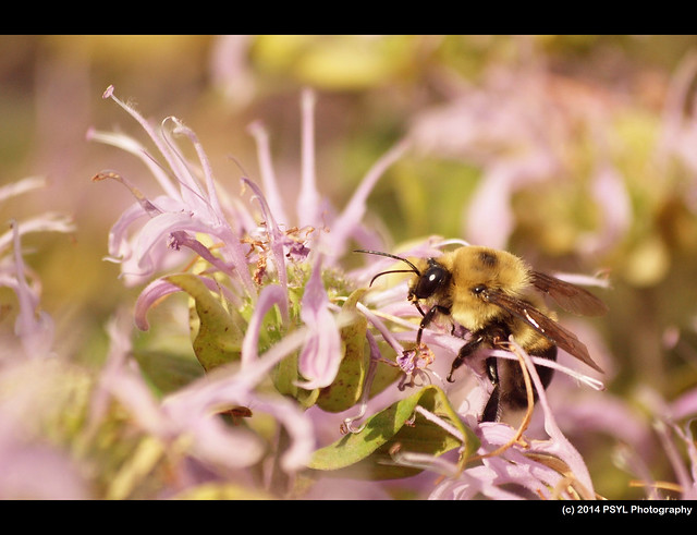 Bumble bee on Wild Bergamot (Monarda fistulosa)