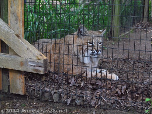 A bobcat rests - quite nearby to the macaws! Cape May Zoo, New Jersey