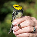 Black-throated Green Warbler (Setophaga virens) by mesquakie8