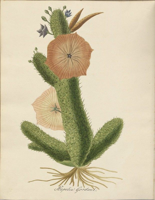Stapelia gordoni watercolour sketch
