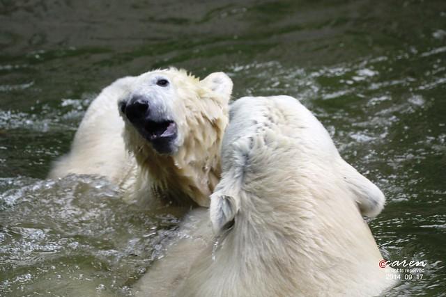 Eisbären Giovanna&Nobby 2014_09_17 227