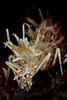 Tiger shrimp close portrait