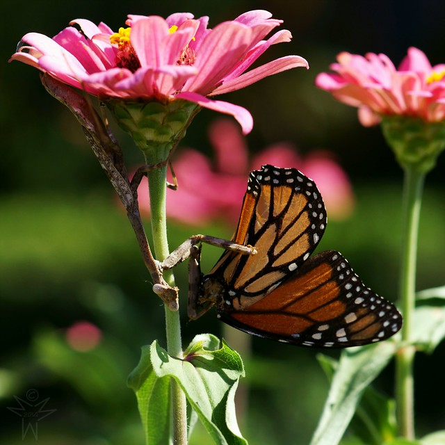 Mantis Vs. Monarch