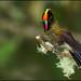 Rainbow-bearded Thornbill (Chalcostigma herrani) by Glenn Bartley - www.glennbartley.com