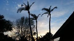Three Palms