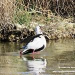Aves en las lagunas de La Guardia (Toledo) 2-4-2017
