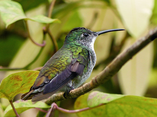trinidad island caribbean westindies asawrightnaturecentre nature ornithology avian bird birds hummingbird whitechestedemerald sexessimilar sideview perched plant tropical leaves foliage rainforest outdoor 19march2017 fz200 fz2004 annkelliott anneelliott ©anneelliott2017 ©allrightsreserved