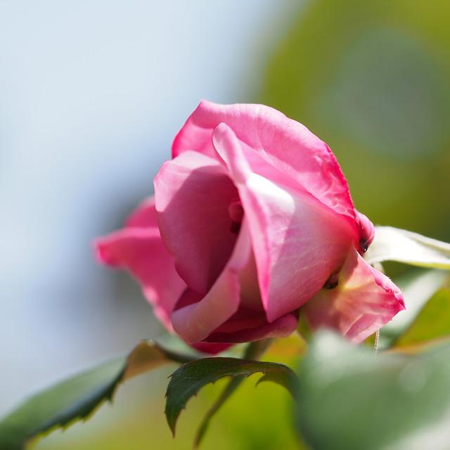 Photo:Rose, Moon Shadow, バラ, ムーン シャドウ, By T.Kiya