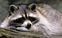 viverridae(0.0), animal(1.0), raccoon(1.0), mammal(1.0), fauna(1.0), whiskers(1.0), procyon(1.0), wildlife(1.0),