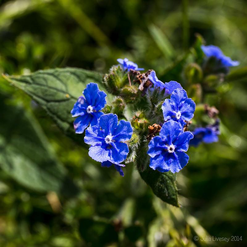 Blue Alkanet