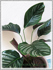 Our potted Calathea ornata 'Sanderiana' (Calathea Broad Leaf, Striped Calathea, Pin-stripe Plant), 18 June 2014