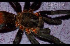 araneus(0.0), european garden spider(0.0), wolf spider(0.0), arthropod(1.0), animal(1.0), spider(1.0), invertebrate(1.0), macro photography(1.0), fauna(1.0), close-up(1.0), tarantula(1.0),
