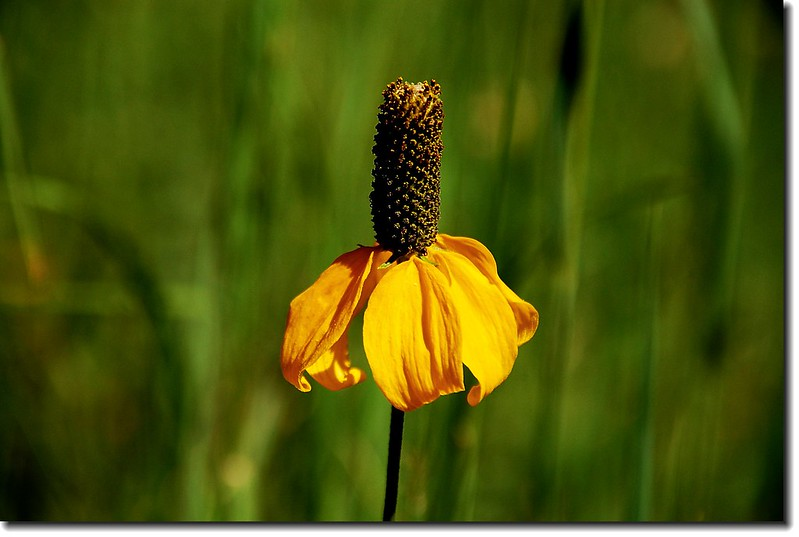 Prairie Coneflower (Mexican Hat) 6