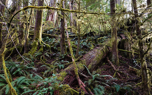 canada tree nature moss rainforest britishcolumbia vancouverisland cowichan temperaterainforest transcanadatrail