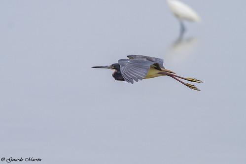 Egretta tricolor
