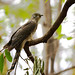 uttampegu posted a photo:	Common Hawk Cuckoo or Brain Fever Bird is quite shy bird and they normally keep themselves hidden in tree leaves, branches.